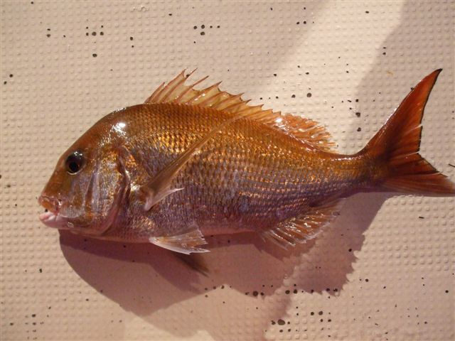 甑島産 真鯛(約1kg)