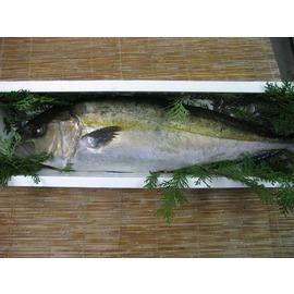 甑島産 カンパチ1尾(約3.6kg)
